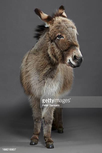 Stanley the Donkey