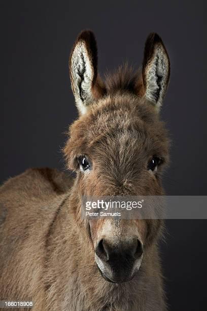 Stanley the Donkey