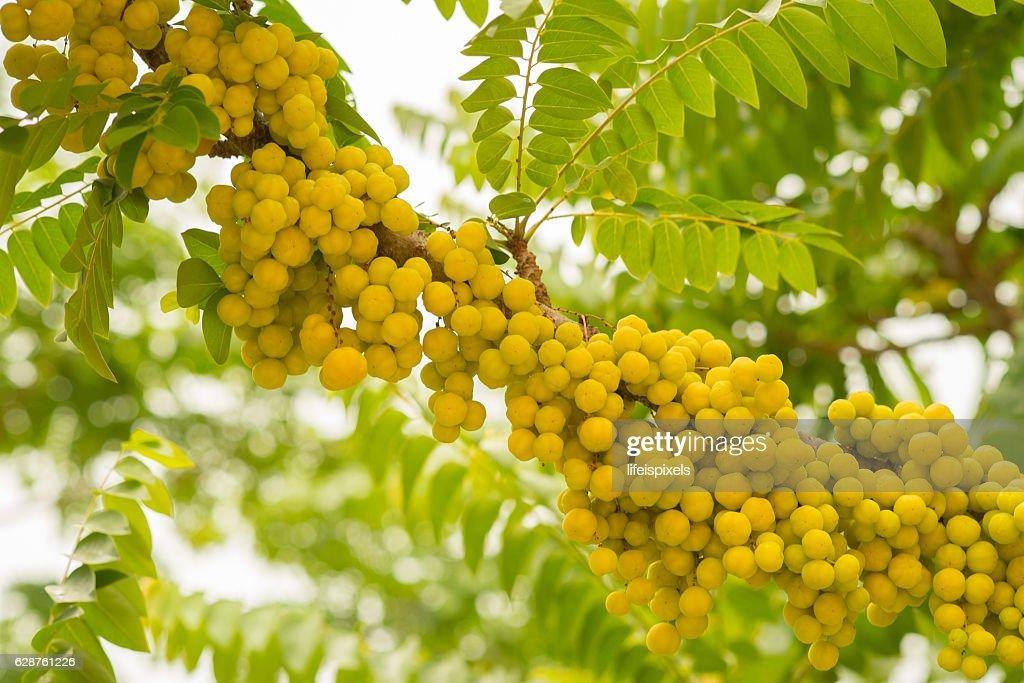 Star Gooseberry Fruit : Stock Photo