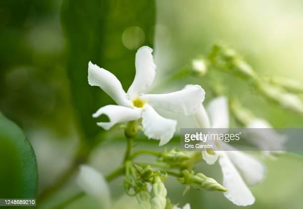 star jasmine flower - jasmin bildbanksfoton och bilder