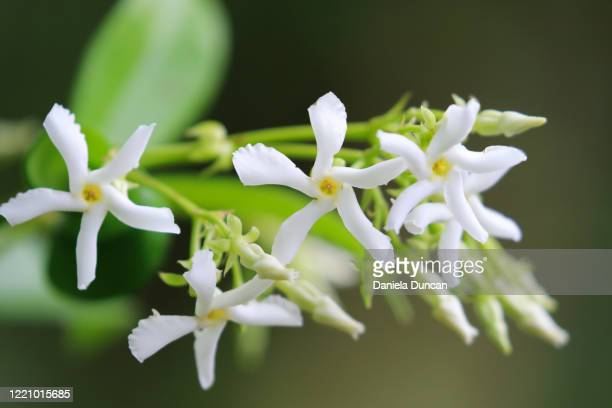 star jasmine in bloom - star shape stock pictures, royalty-free photos & images