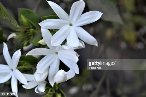 Star Jasmine-Chinese star jassamine-confederate jasmine