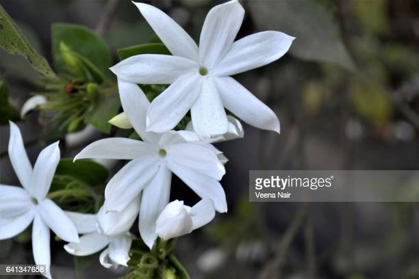 star jasmine-chinese star jassamine-confederate jasmine - jasmine stock photos and pictures