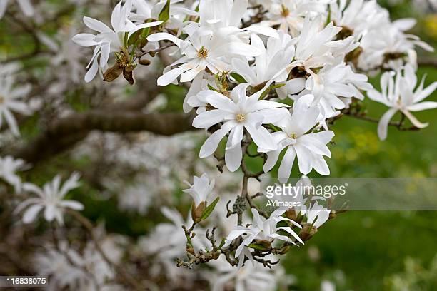 Star Magnolia (M. stellata)