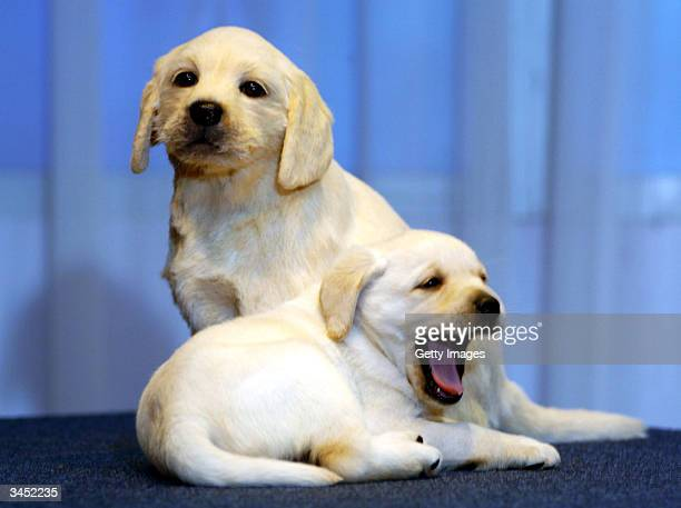 Star of the British television adverts the Andrex puppy comes nosetonose with his brand new waxwork double at Madame Tussauds on April 21 2004 in...