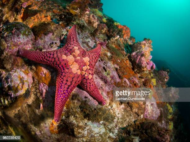 star - starfish stock pictures, royalty-free photos & images