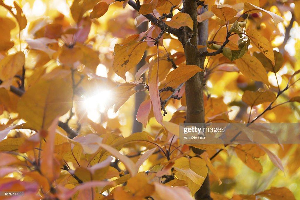 Starburst Of Light Coming Through Orange Crabapple Tree