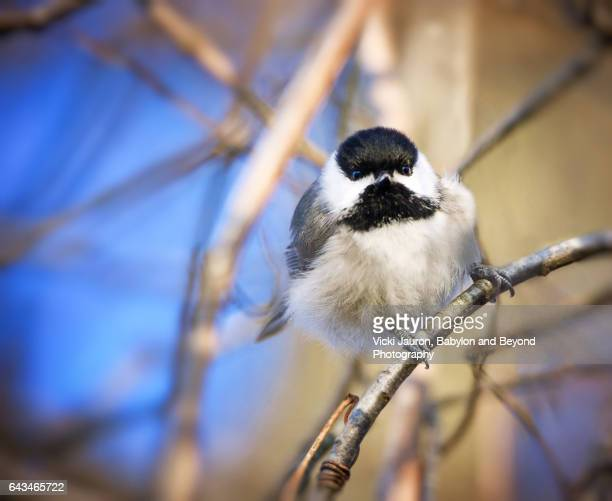 Stare of a Black Capped Chickadee