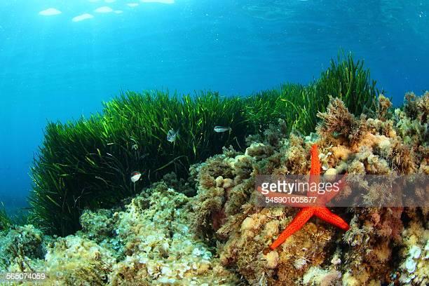 Starfish and eelgrass