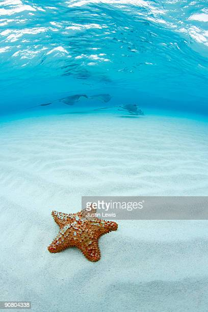 starfish and southern stingray at stingray city - starfish stock pictures, royalty-free photos & images