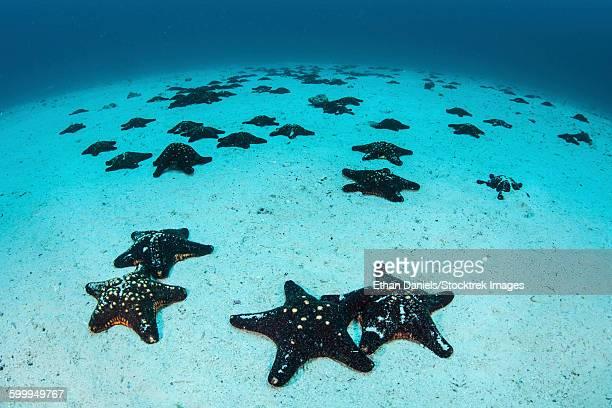 Starfish cover the sandy seafloor near Cocos Island, Costa Rica.