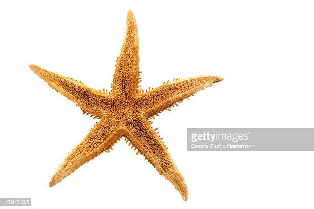 starfish (platyasterida), elevated view, close-up - starfish stock pictures, royalty-free photos & images