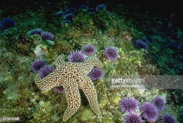 Starfish Feeds on Purple Sea Urchins