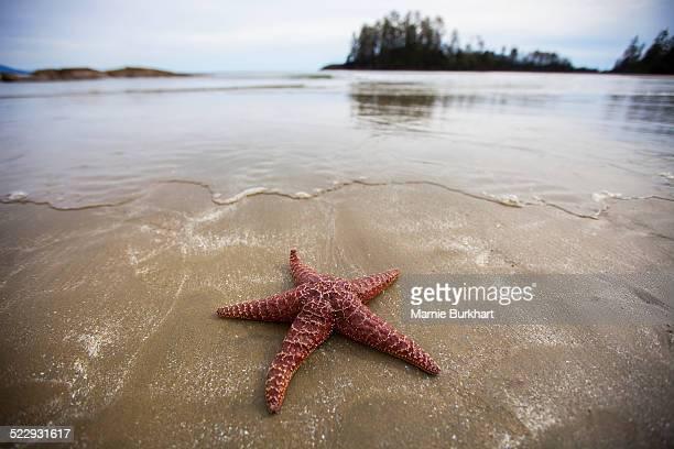 starfish on beach near tofino, vancouver island, british columbia, canada - public domain imagens e fotografias de stock