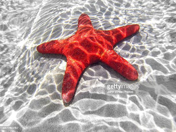 starfish underwater in shallow water. australia. - starfish stock pictures, royalty-free photos & images