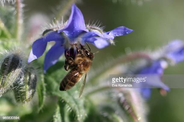 Starflower And Bee