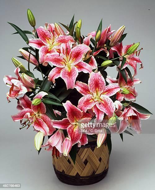 Stargazer lily Liliaceae