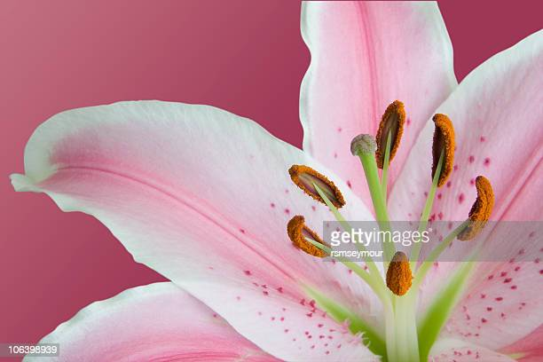 stargazer lily - stargazer lily stock photos and pictures