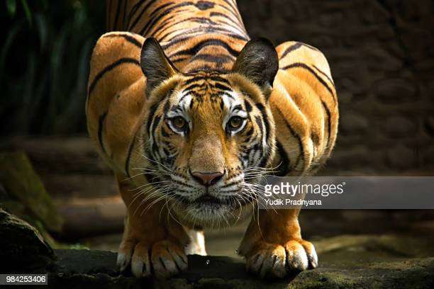 staring at the face - bengal tiger stock pictures, royalty-free photos & images