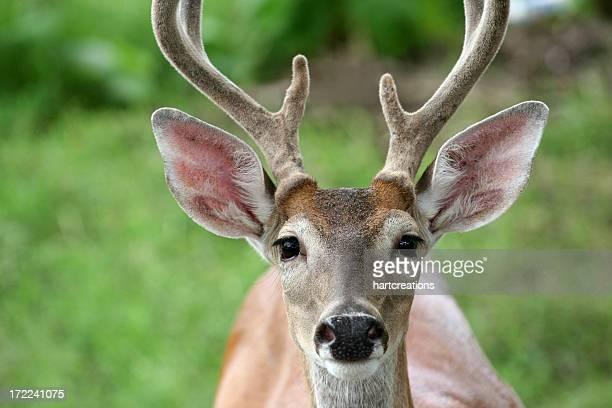 Regarder fixement deer