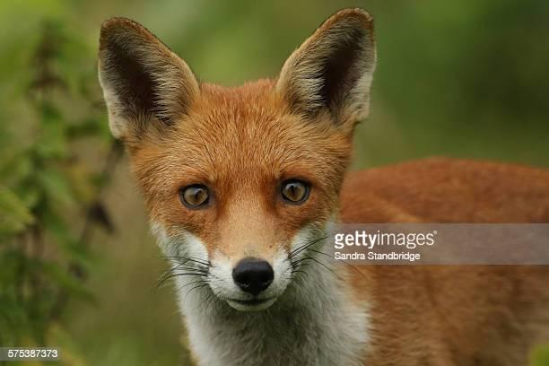 A staring fox