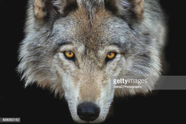 staring gray wolf - animal eye stock pictures, royalty-free photos & images