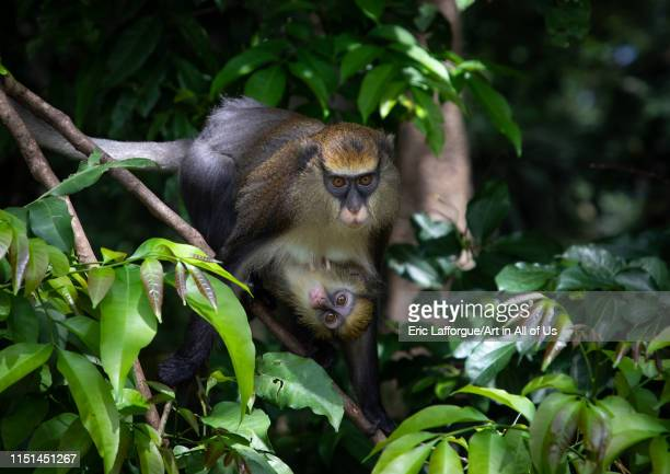 Staring macaque monkey mother with a baby in the forest Tonkpi Region Man Ivory Coast on May 6 2019 in Man Ivory Coast
