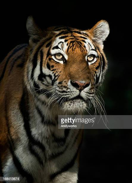 staring tiger in the evening - dark panthera stock pictures, royalty-free photos & images