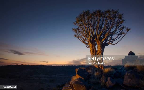 a stark and lonely quiver tree stands still on the arid, rugged landscape, like some giant prehistoric dandelion in the dawn sky. full colour horizontal image - köcherbaum stock-fotos und bilder