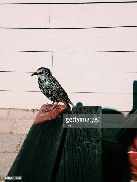 starling bird on bench, bournemouth, england, united kingdom - bournemouth england stock pictures, royalty-free photos & images