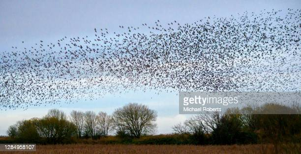 starling murmuration at the newport wetlands nature reserve, gwent - newport wales stock pictures, royalty-free photos & images