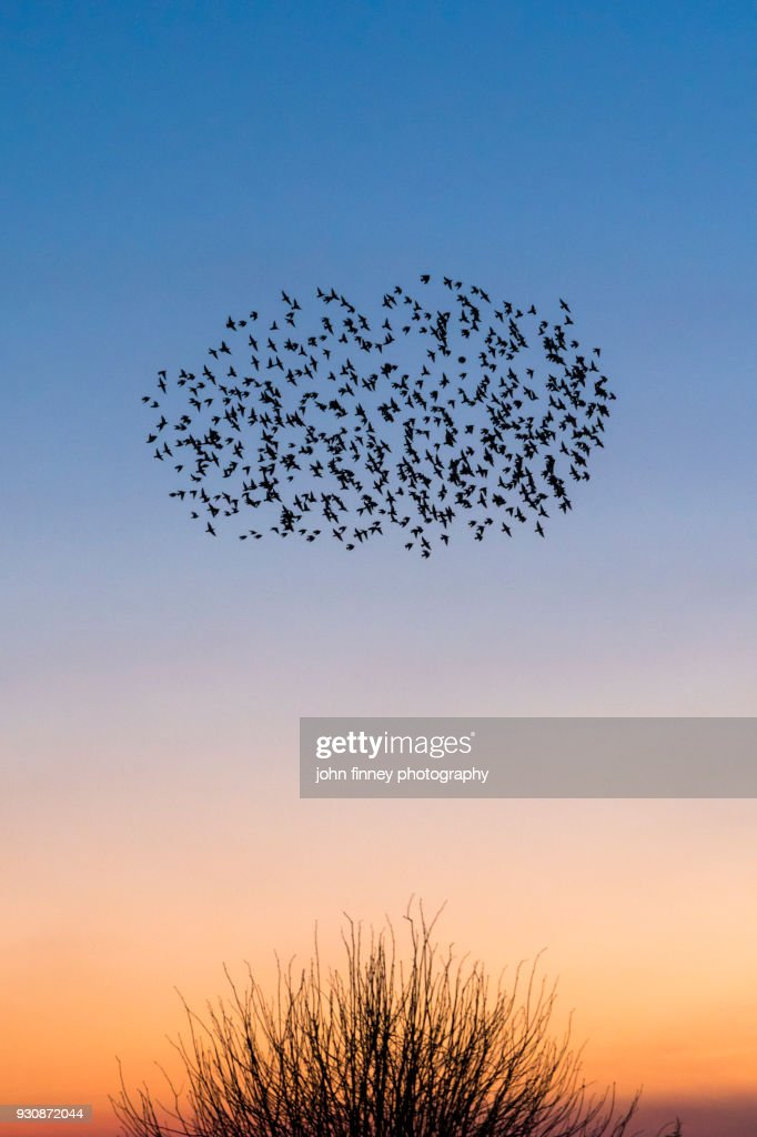 Starling murmurations over a Kent sunset sky, UK : Stock Photo