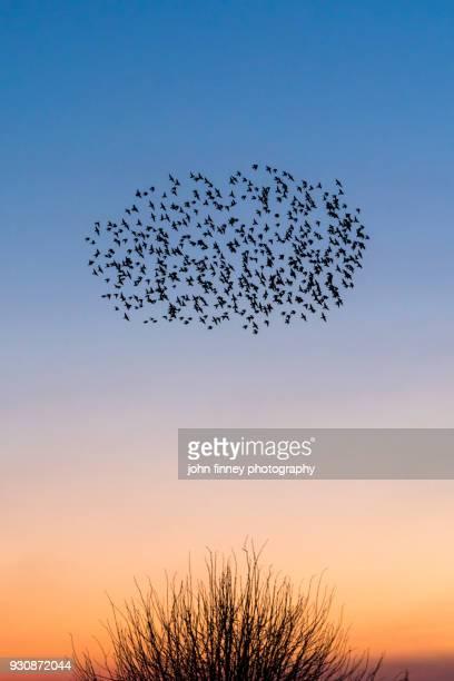 Starling murmurations over a Kent sunset sky, UK