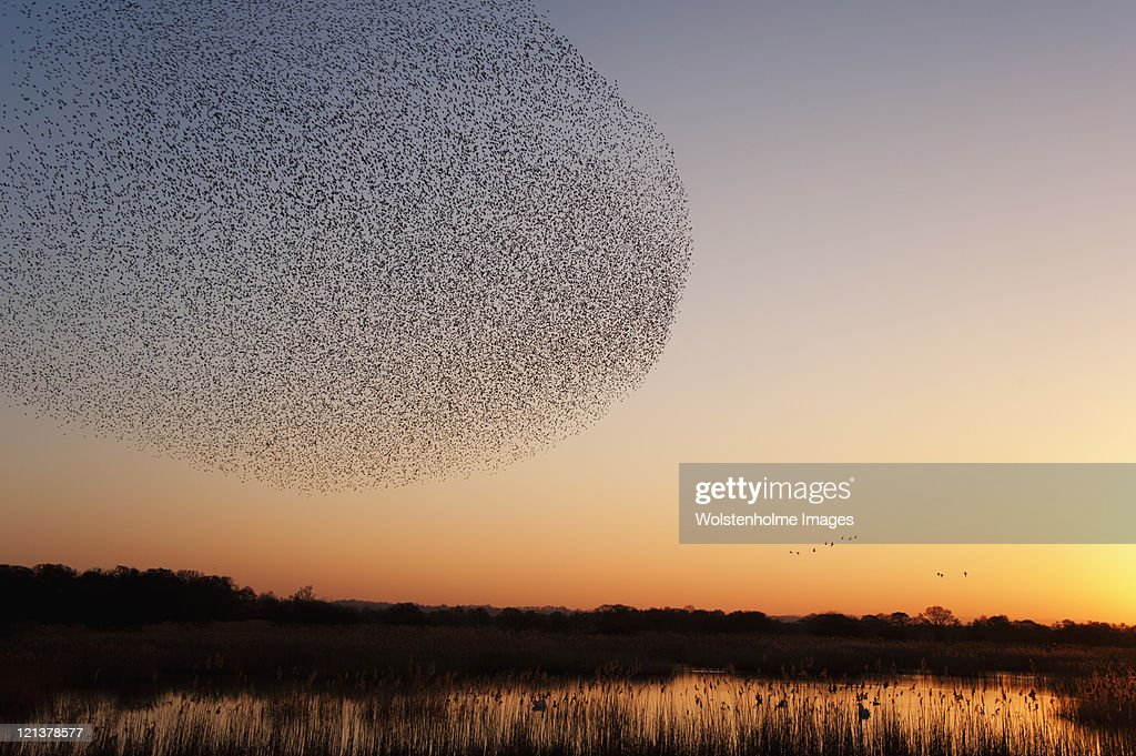 Starling roost : Stock Photo