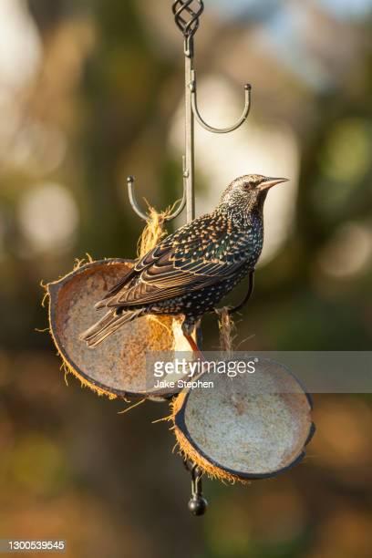 starling standing on coconut feeder in garden - ウェルシュプール ストックフォトと画像