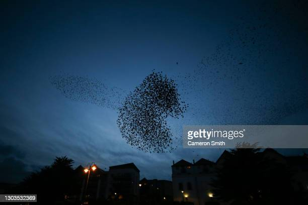 Starling's fly in formation on February 22, 2021 in Penzance, England.