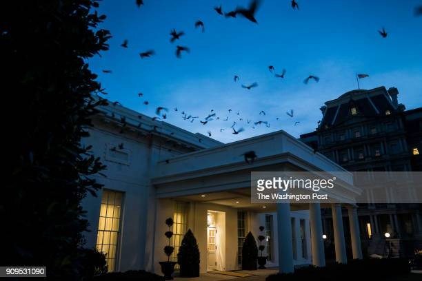 Starlings fly out of a bush and over the West Wing at sun set as a government shutdown continues at the White House in Washington DC on Monday Jan 22...