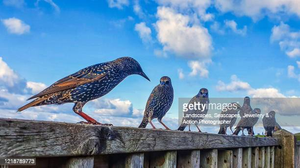 starlings on a hand rail - animals in the wild stock pictures, royalty-free photos & images