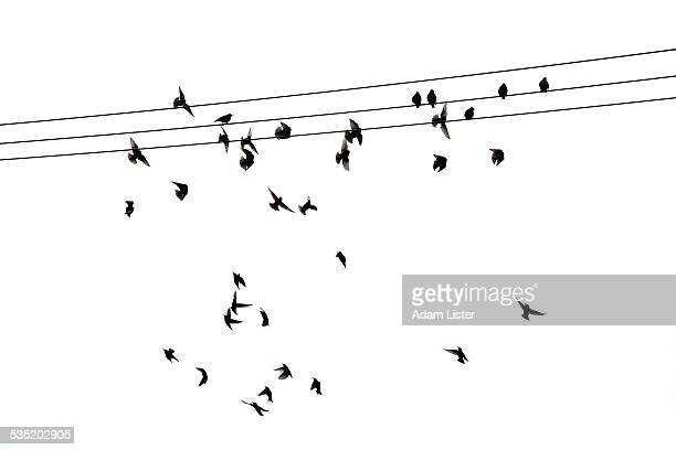 Starlings on a wire