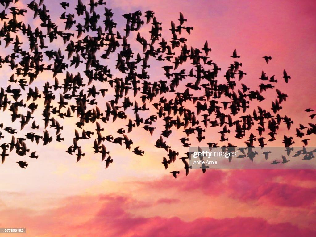 Starlings : Stock Photo