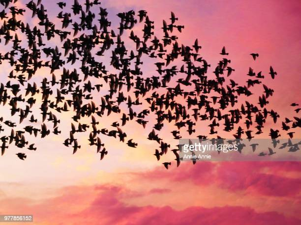 starlings - flock of birds stock pictures, royalty-free photos & images