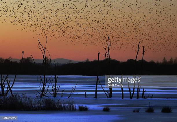 Starlings return to roost on the Somerset Levels near Glastonbury on January 7 2010 in Somerset England The MET office confirmed that the Christmas...