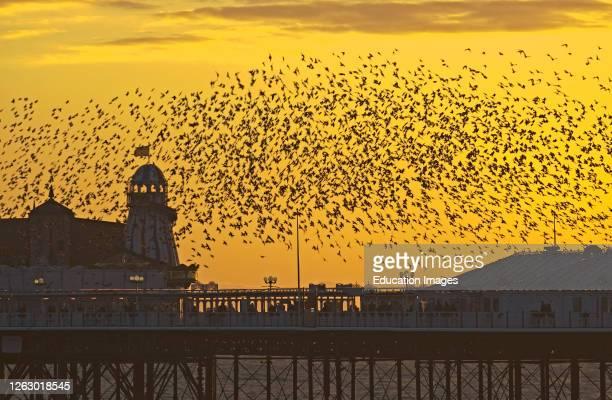 Starlings, Sturnus vulgarus, arriving at Brighton's Palace Pier to roost, Sussex, UK.