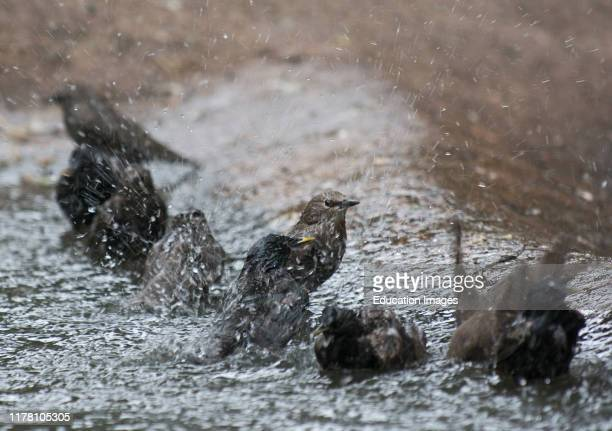 Starlings Sturnus vulgarus flock bathing Edinburgh Scotland