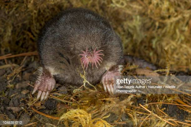 star-nosed mole - mole animal stock photos and pictures