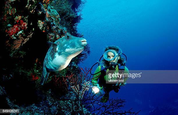 Starry puffer and scuba diver Arothron caeruleopunctatus Australia Pacific Ocean Great Barrier Reef
