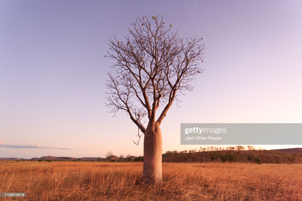 Stars and night sky over a Boab Tree. Parry Lagoons Nature Reserve. The Kimberley. Western Australia. : Stock Photo