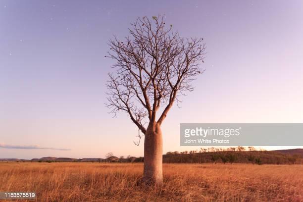 stars and night sky over a boab tree. parry lagoons nature reserve. the kimberley. western australia. - austrália ocidental - fotografias e filmes do acervo