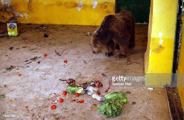 Starving a bear waits for a meal April 19 2003 at the Baghdad Zoo in Baghdad Iraq Like much of Baghdad the zoo was looted in the days after the US...