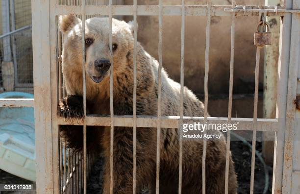 A starving bear is seen in its cage at ruined Muntazr alNour zoo in Mosul Iraq on February 9 2017 The animal park has been destroyed and left to its...
